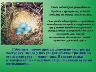 Гнездопевчий дроздустраивает на деревьях и кустарниках, но всегда невдалеке