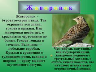 Жаворонок - буровато-серая птица. Так окрашена вся спина, голова и крылья.