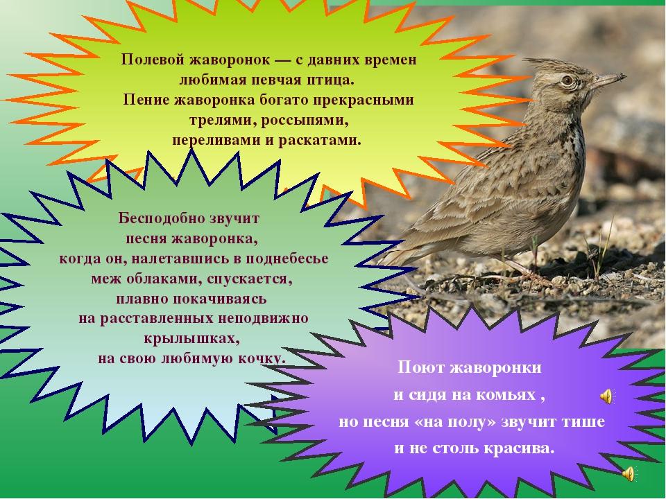 Полевой жаворонок — с давних времен любимая певчая птица. Пение жаворонка бо...