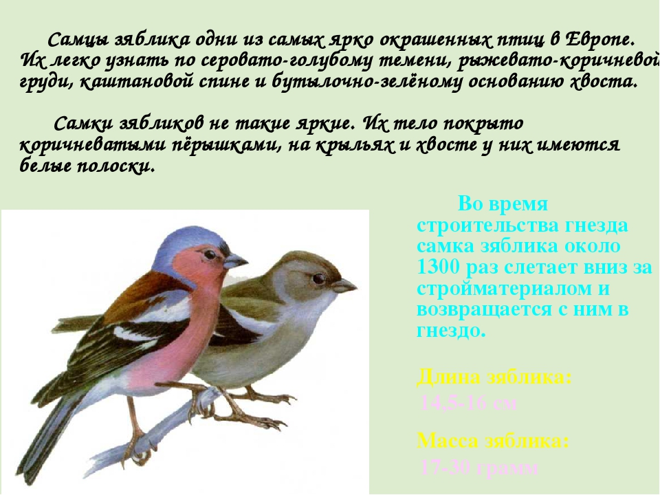 Самцы зяблика одни из самых ярко окрашенных птиц в Европе. Их легко узнать п...