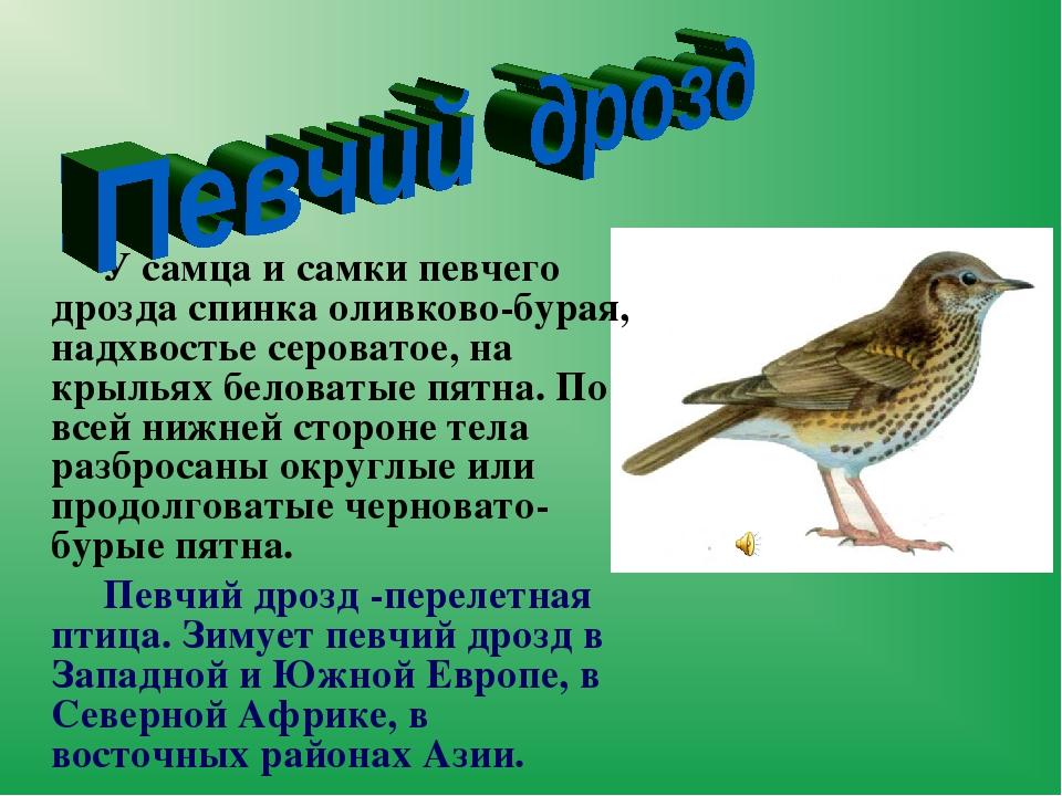 У самца и самкипевчего дроздаспинка оливково-бурая, надхвостье сероватое...