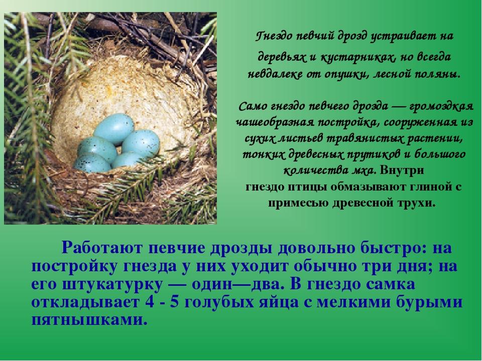 Гнездопевчий дроздустраивает на деревьях и кустарниках, но всегда невдалеке...