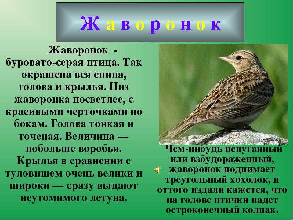 Жаворонок - буровато-серая птица. Так окрашена вся спина, голова и крылья....