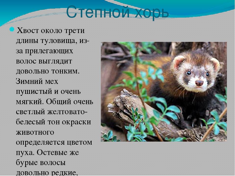 доклад про животных с картинками хабаровского края