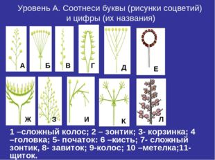 Уровень А. Соотнеси буквы (рисунки соцветий) и цифры (их названия) 1 –сложный