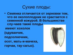 Сухие плоды: Семянка отличается от зерновки тем, что ее околоплодник не сраст