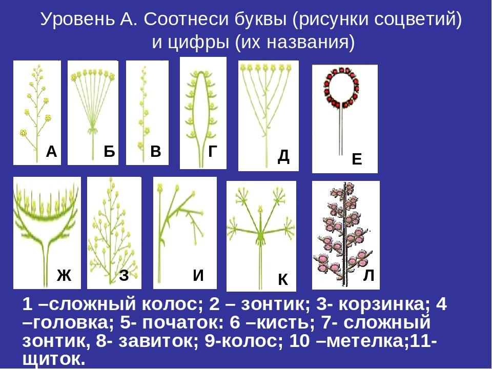 Уровень А. Соотнеси буквы (рисунки соцветий) и цифры (их названия) 1 –сложный...