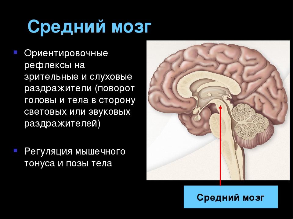 Строение И Значение Среднего Мозга. Понятие О Четверохолмном Рефлексе. Шпаргалка