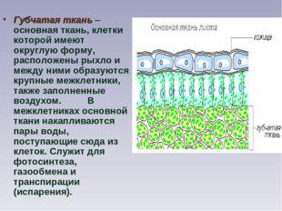 Губчатая ткань– основная ткань, клетки которой имеют округлую форму, располо