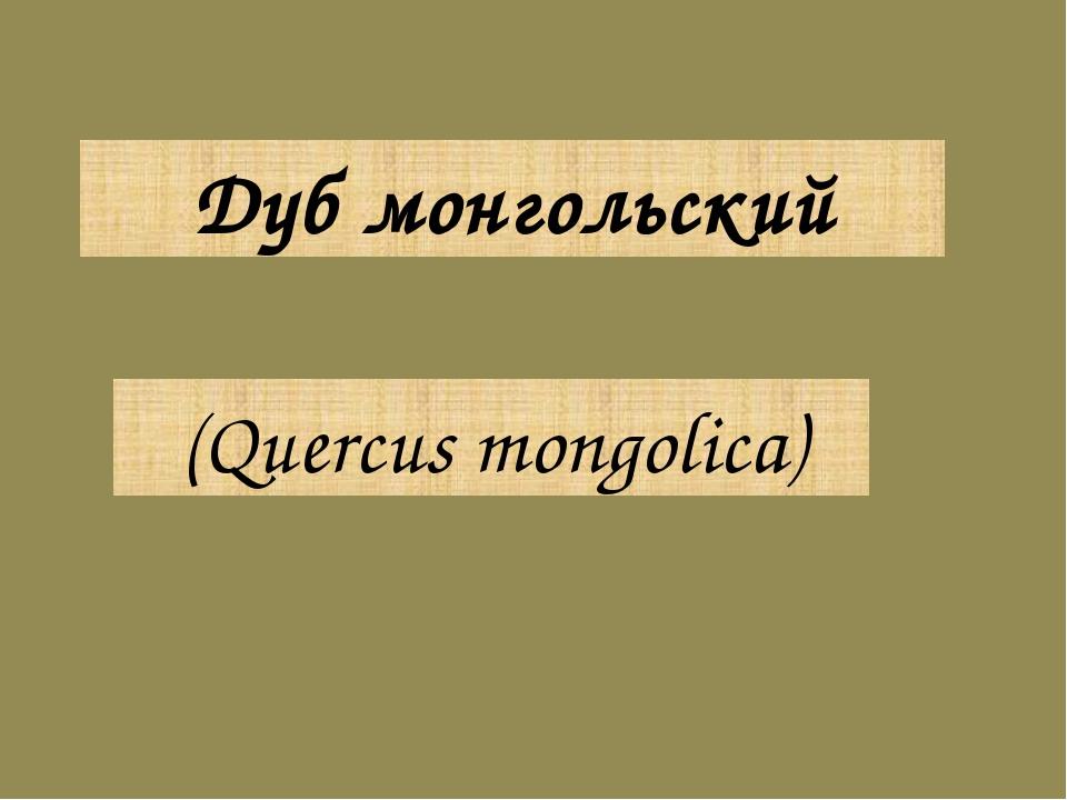(Quercus mongolica) Дуб монгольский