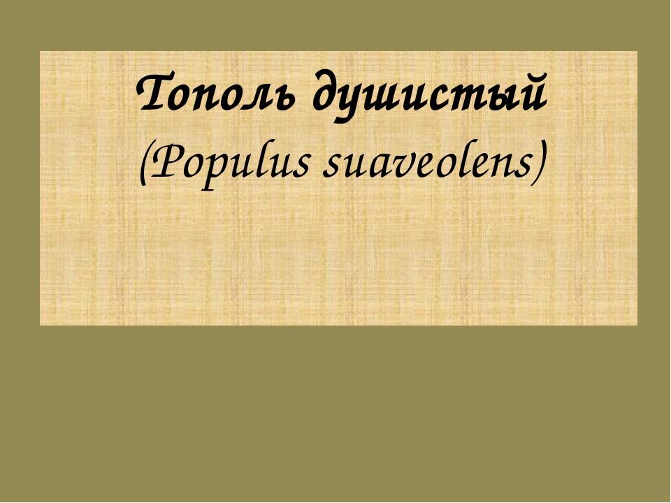 Тополь душистый (Populus suaveolens)