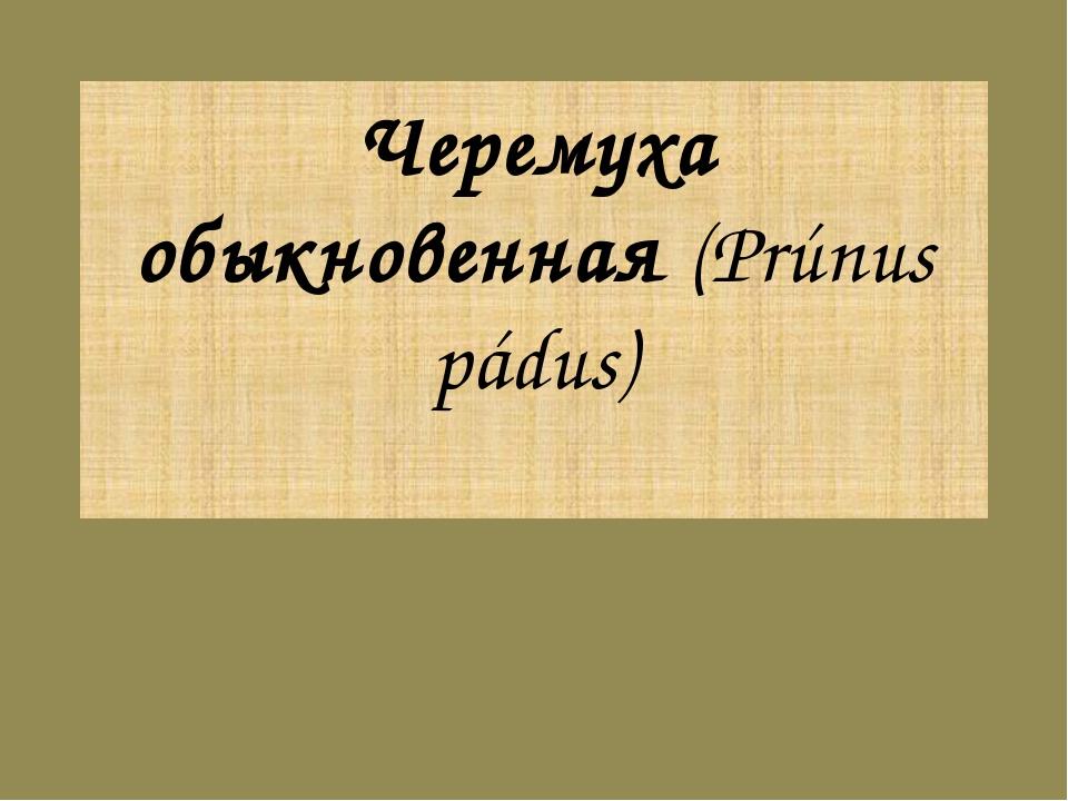 Черемуха обыкновенная (Prúnus pádus)
