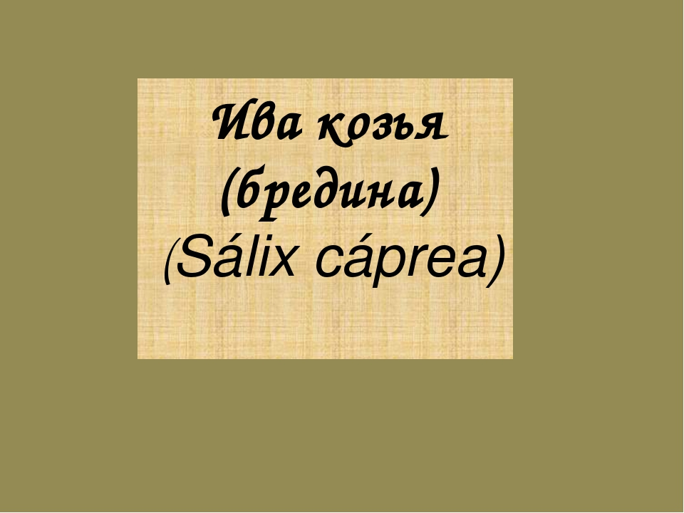 Ива козья (бредина) (Sálix cáprea)