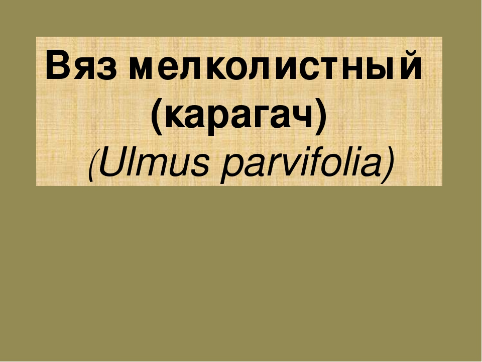Вяз мелколистный (карагач) (Ulmus parvifolia)