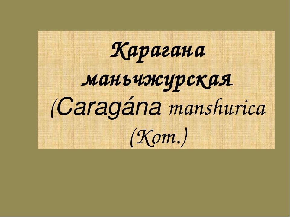 Карагана маньчжурская (Caragána manshurica (Kom.)