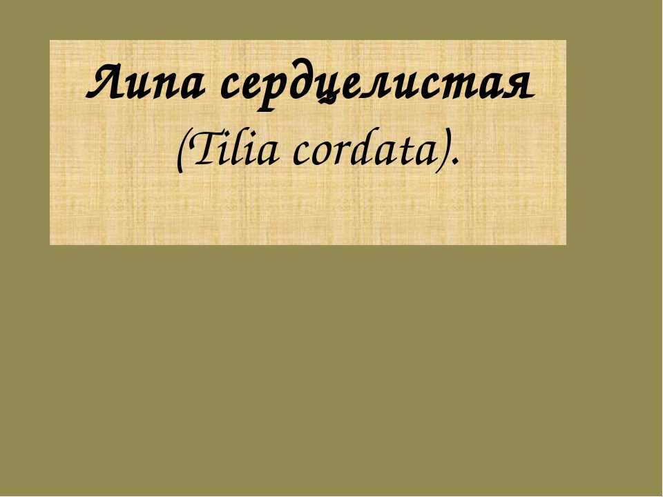 Липа сердцелистая (Tilia cordata).
