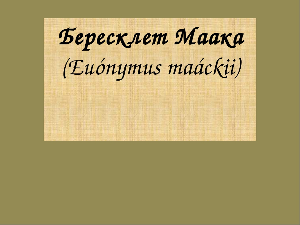Бересклет Маака (Euónymus maáckii)