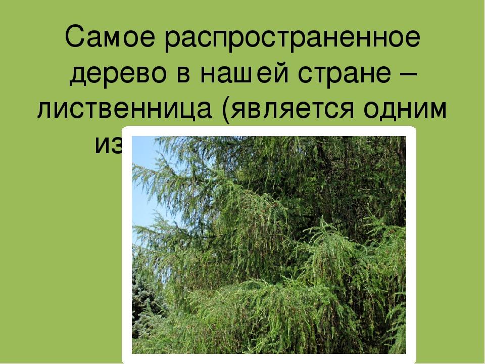 Самое распространенное дерево в нашей стране – лиственница (является одним из...