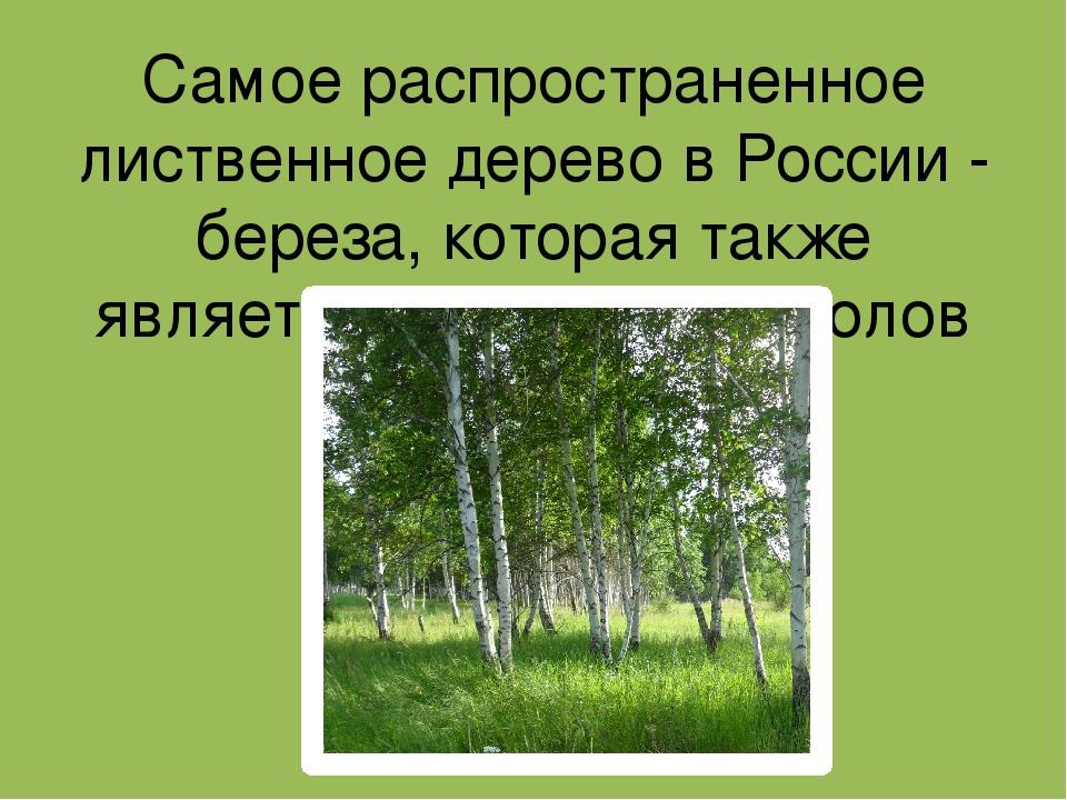 Самое распространенное лиственное дерево в России - береза, которая также явл...