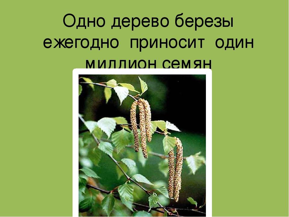Одно дерево березы ежегодно приносит один миллион семян