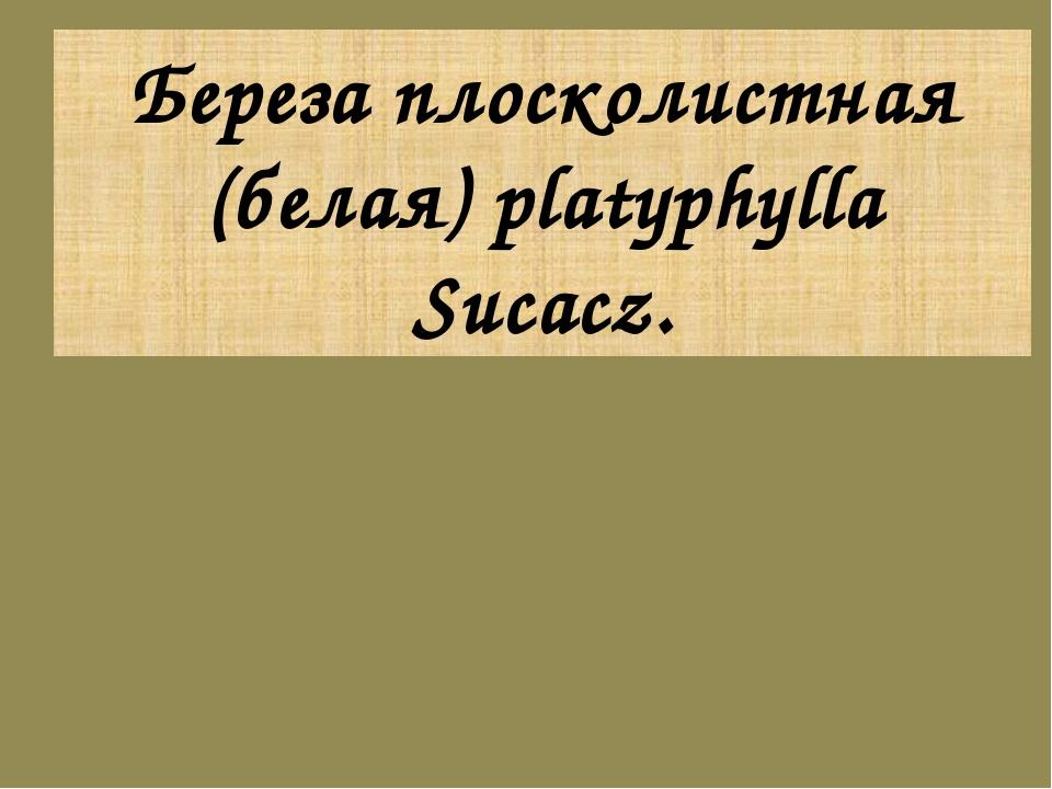 Береза плосколистная (белая) platyphylla Sucacz.