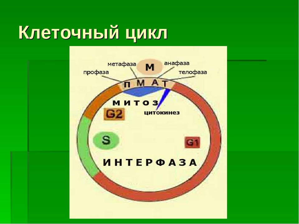 Клеточный цикл