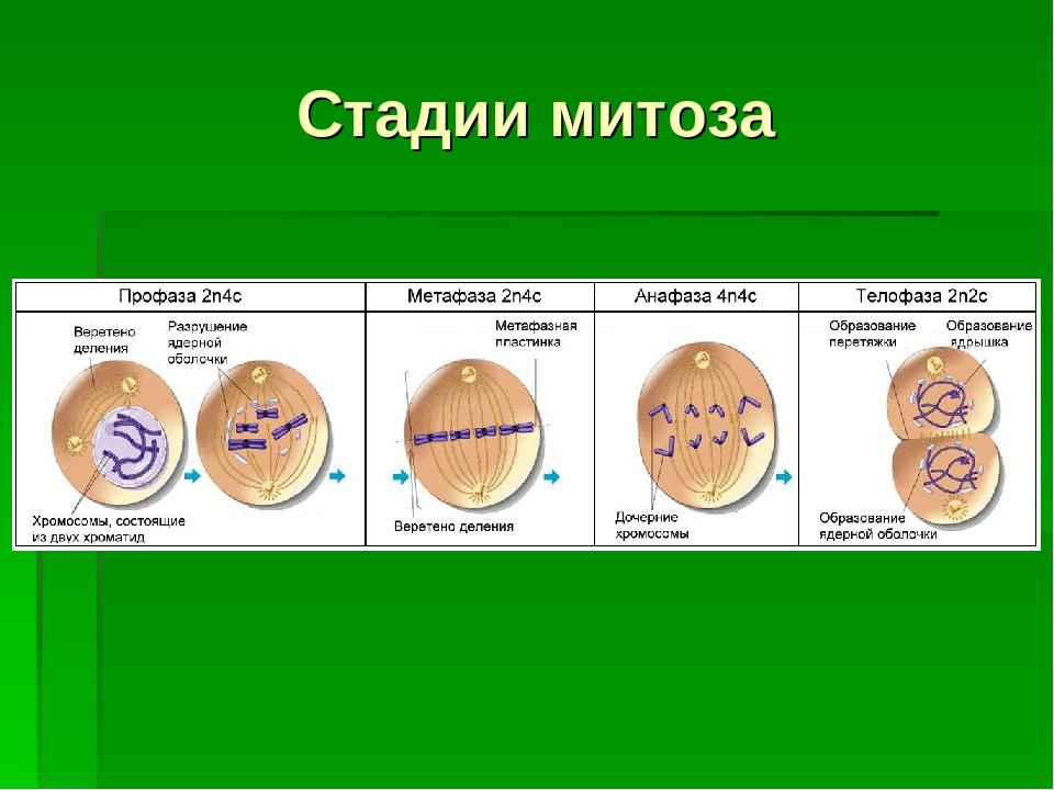 Стадии митоза