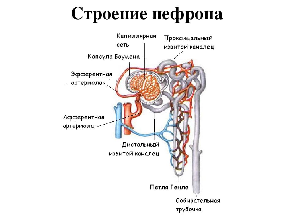 структура нефрона картинка трудной операцией будет
