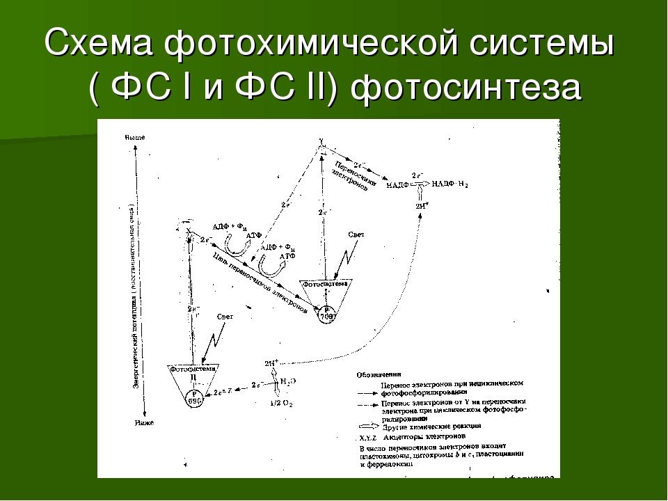 Схема фотохимической системы ( ФС I и ФС II) фотосинтеза