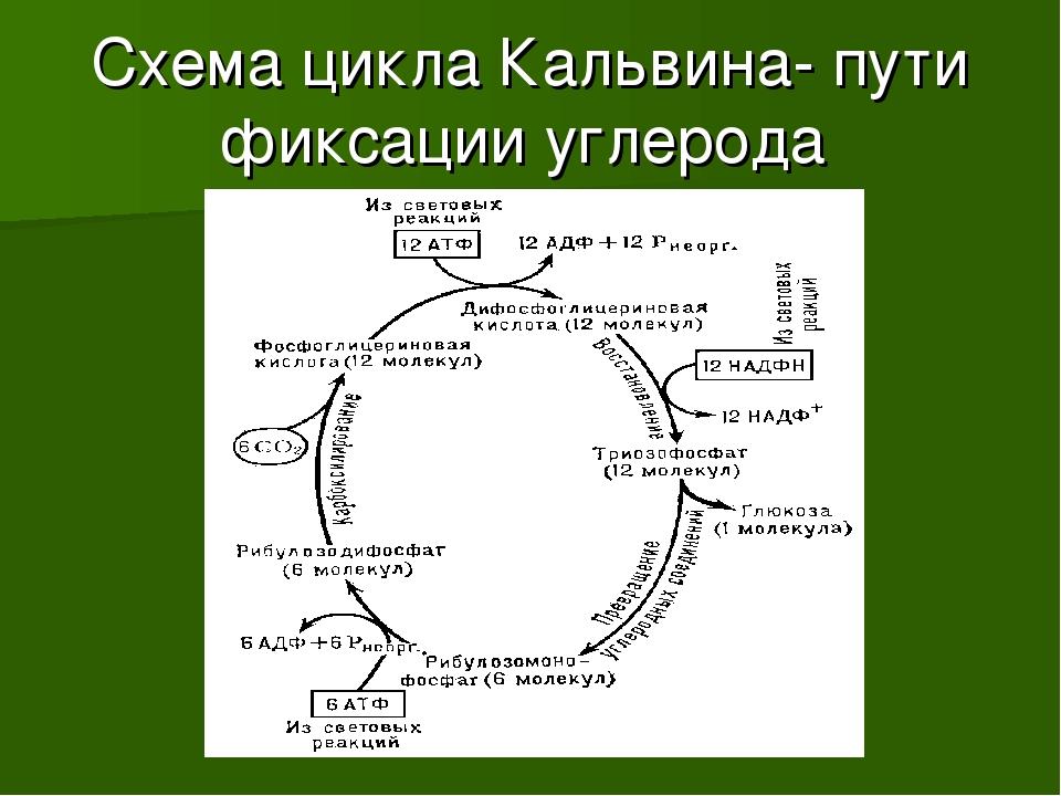 Схема цикла Кальвина- пути фиксации углерода