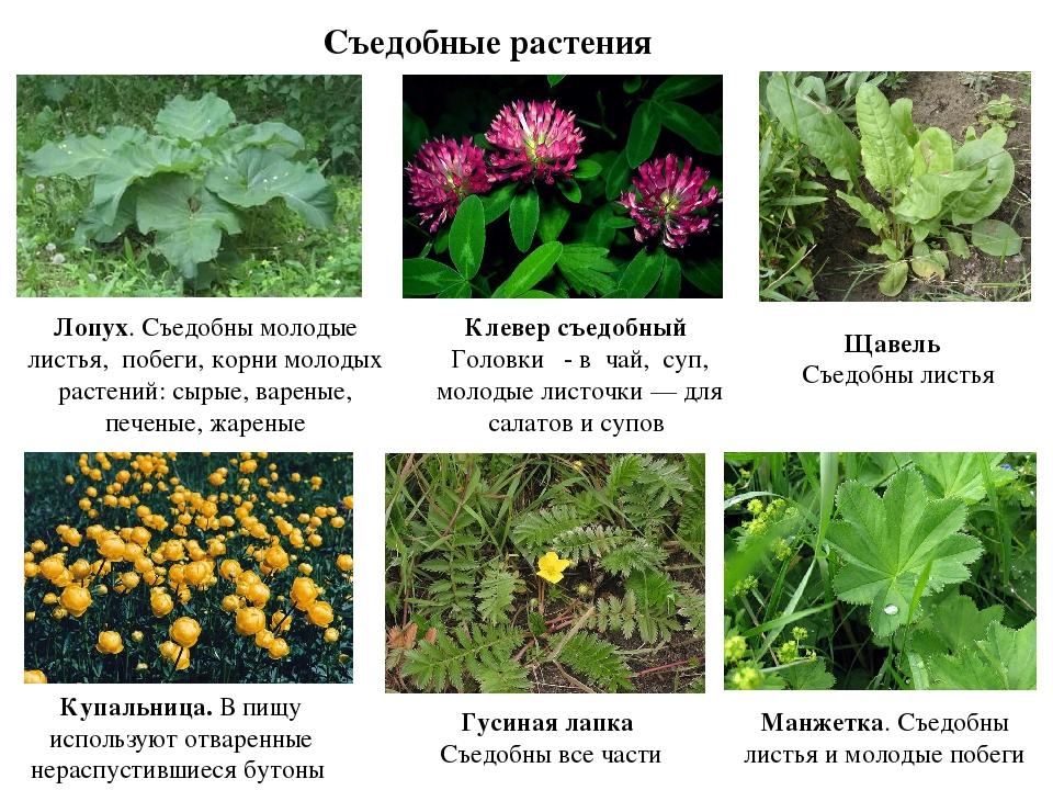 съедобные растения с картинками все обитатели этих
