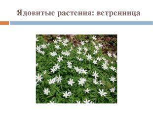 Ядовитые растения: ветренница
