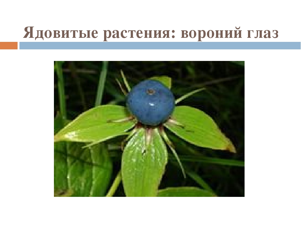 Ядовитые растения: вороний глаз