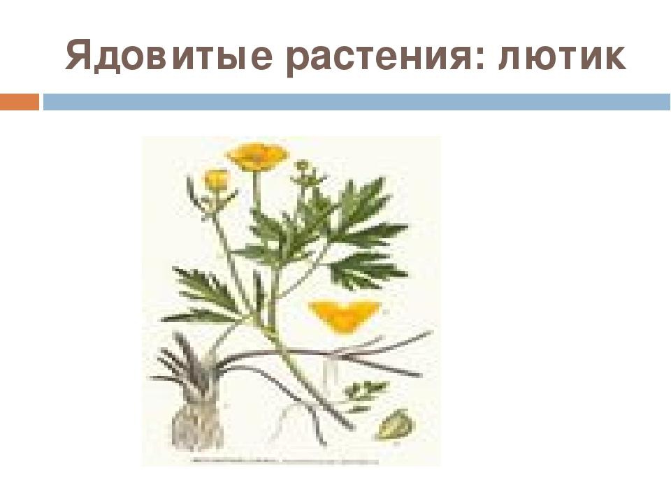 Ядовитые растения: лютик