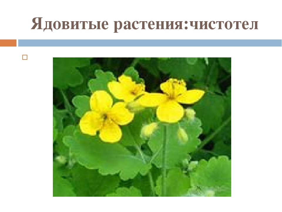 Ядовитые растения:чистотел