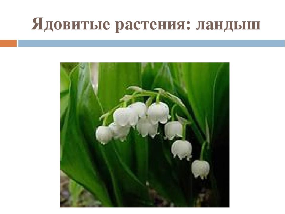 Ядовитые растения: ландыш