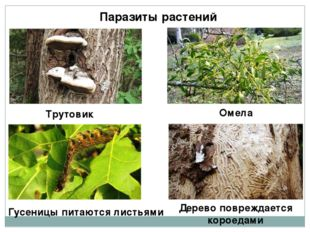 Паразиты растений Трутовик Омела Гусеницы питаются листьями Дерево повреждает