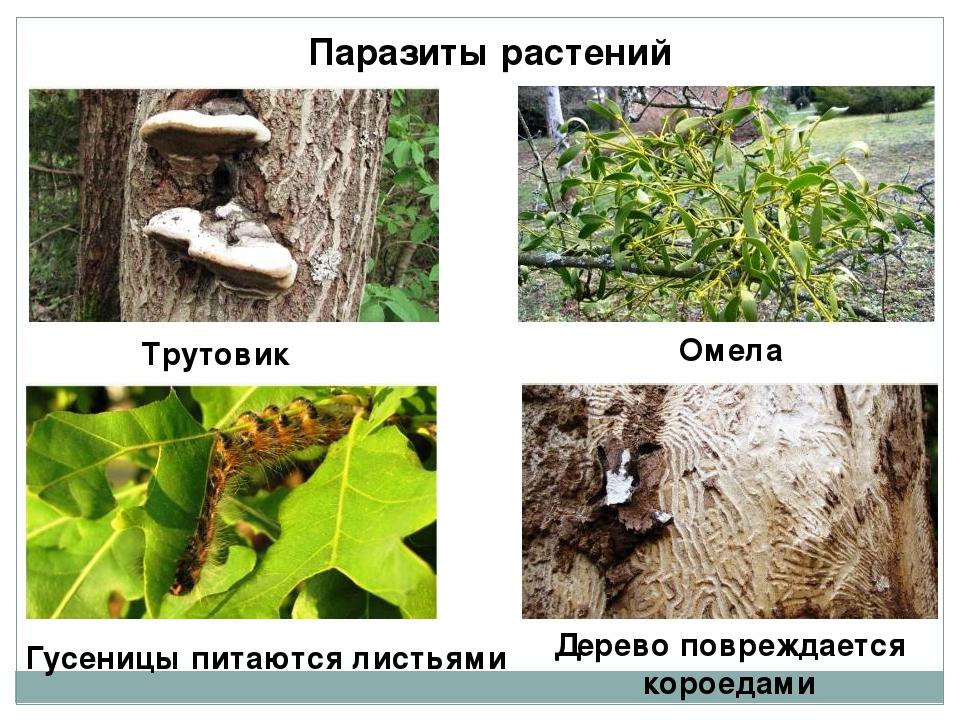 Паразиты растений Трутовик Омела Гусеницы питаются листьями Дерево повреждает...