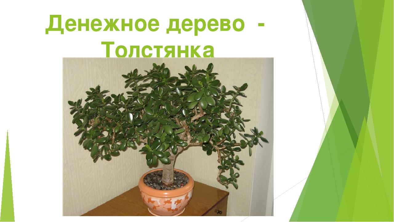 Денежное дерево - Толстянка