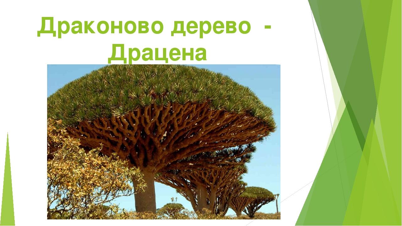 Драконово дерево - Драцена
