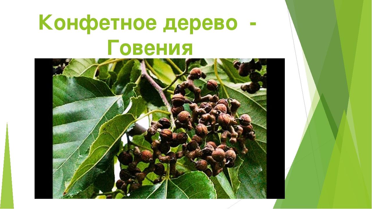 Конфетное дерево - Говения