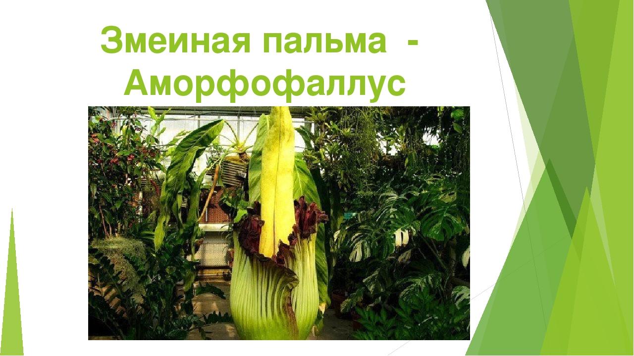 Змеиная пальма - Аморфофаллус