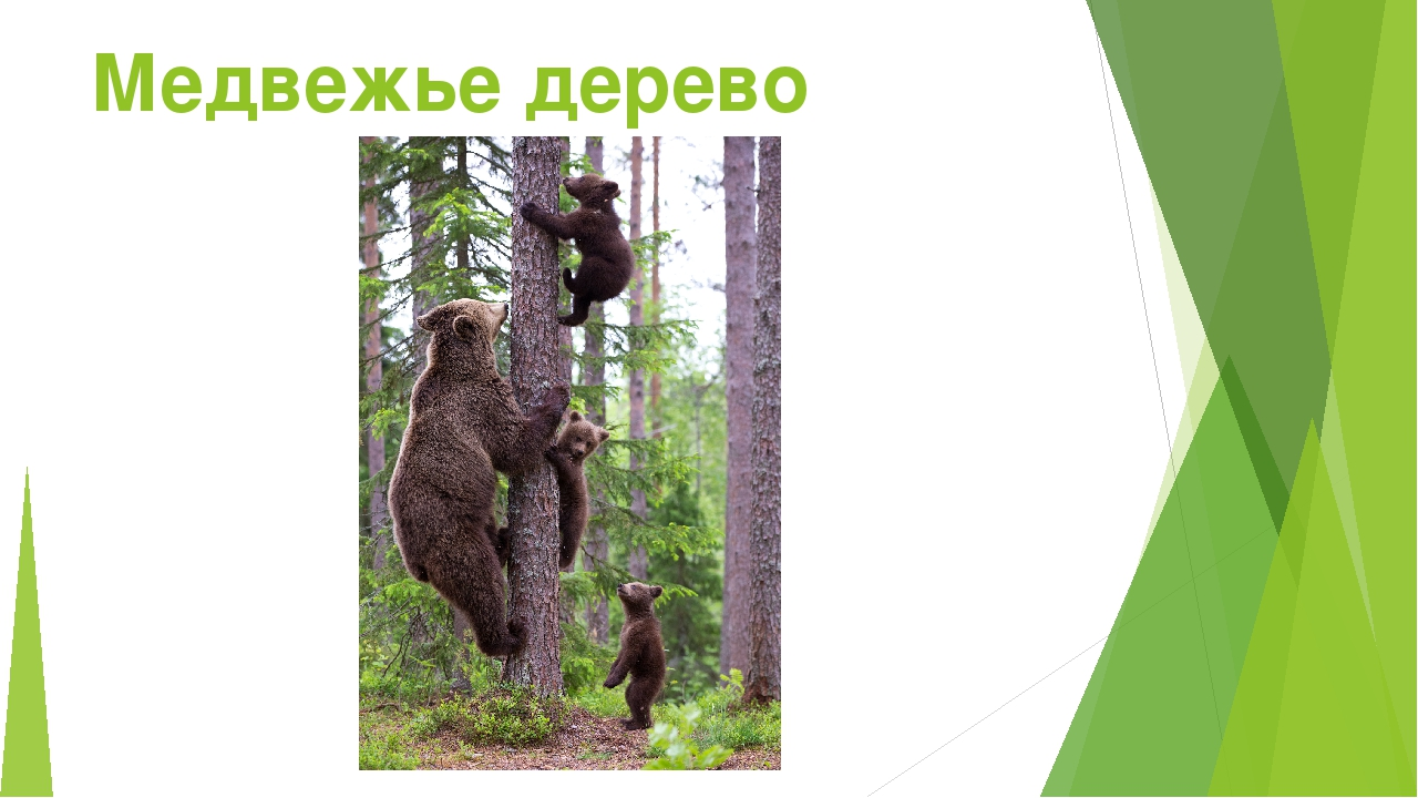 Медвежье дерево