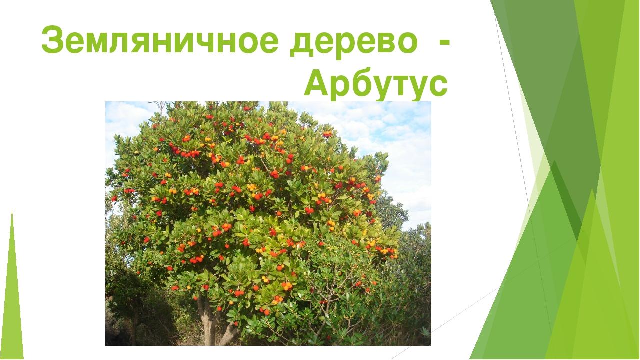 Земляничное дерево - Арбутус
