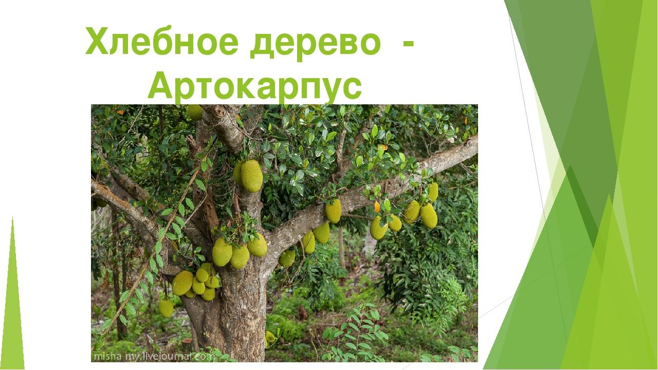 Хлебное дерево - Артокарпус