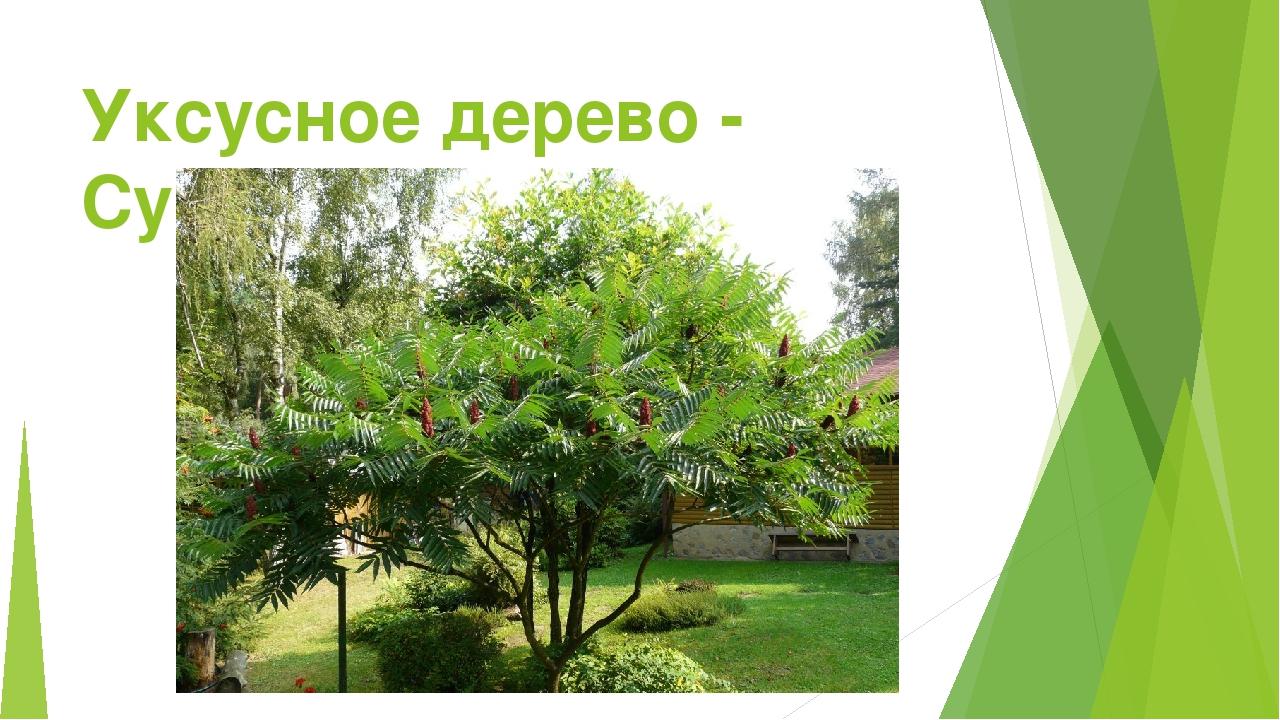 Уксусное дерево - Сумах