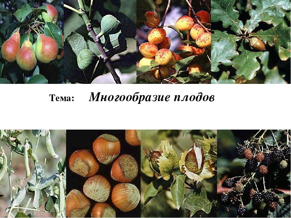 Тема: Многообразие плодов