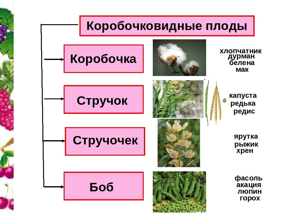 Коробочковидные плоды Коробочка Стручочек Стручок Боб дурман белена мак капус...