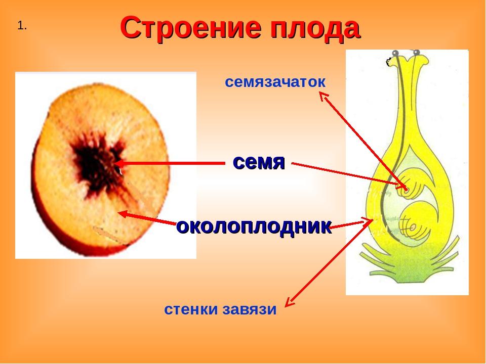 Строение плода семя околоплодник семязачаток стенки завязи 1.