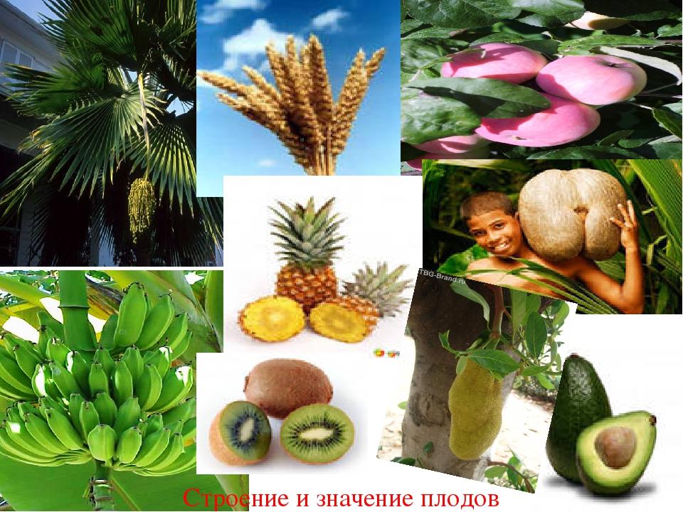 Строение и значение плодов